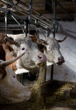 Cows feeding in stable Stock Image