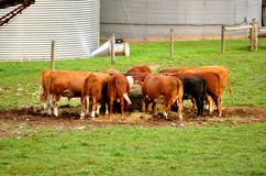Cows at Feeding Time Royalty Free Stock Photos