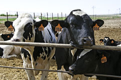 Cows at feedlot await thier fate. Black and white steers gaining weight at a feedlot in central Colorado, USA Stock Photo