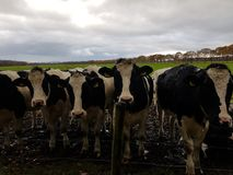 Cows in feld. Close by Woods Stock Images