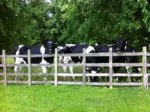 Cows at a fence Royalty Free Stock Photos