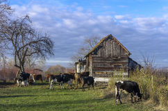 Cows at farm Stock Images
