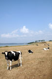 Cows in a field. Field with cows and wind turbine and the sea in background. blue summer sky at harvest time Royalty Free Stock Photos