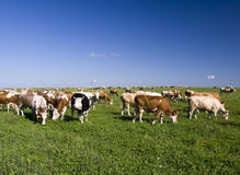 Cows on the Field Royalty Free Stock Image