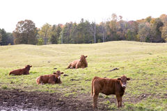 Cows in the field. Cows are resting in the field Stock Photo