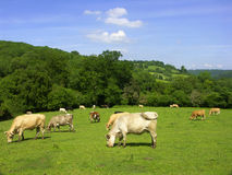 Cows on field. Green field with cows grazing in the countryside Royalty Free Stock Images
