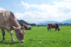 Cows on field Stock Photo