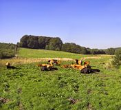 Cows on a field Royalty Free Stock Photo