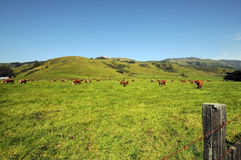 Cows in field. Cattle herd grazing colorful meadow with background hills royalty free stock images