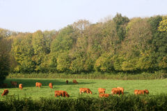 Cows in field Stock Image