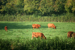 Cows in field Royalty Free Stock Photos