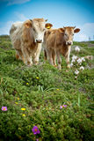 Cows in a field. Light-brown cows in a field full of wildflowers Royalty Free Stock Photo