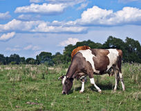 Cows in field Royalty Free Stock Photography