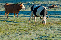Cows on a Field Stock Image