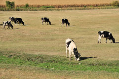 Cows on field. Farm with Holstein cow grazing dry grass on field Stock Photos