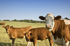 Cows in the field. Curious cows in the field looking at the camera stock photo