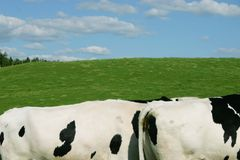 Cows in a field. Two back of holstein cows in a field and blue sky in background Stock Photos