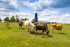 Cows on field Royalty Free Stock Images