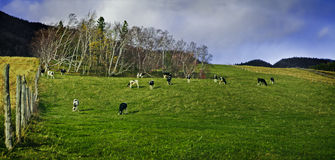 Cows in a field Stock Images