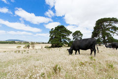Cows in field. Herd of black cows eating grass in a large open farm field Royalty Free Stock Photos