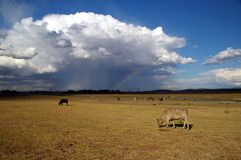 Cows in the field. Cows and a summer storm eating grass Royalty Free Stock Images