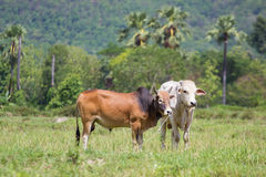 2 Cows Royalty Free Stock Photos