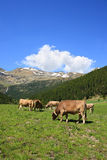 Cows in a field. In the pyrenean mountains in Andorra Stock Images