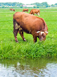 Cows on a Field Stock Images