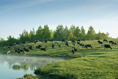Cows on a field. Herd of cows grazing on a field Royalty Free Stock Images