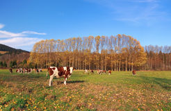 Cows on field in autumn royalty free stock photos