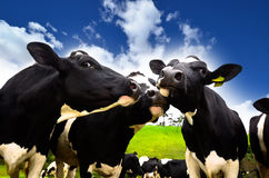 Cows on the field. Black and white cows on the field Royalty Free Stock Photo