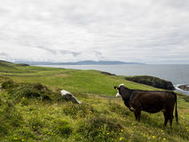 Cows in a field on the coast of Maghery, Donegal Royalty Free Stock Photo