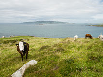Cows in a field on the coast of Maghery, Donegal Royalty Free Stock Photography