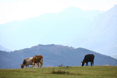 Cows on a field. Color image of some cows on a field royalty free stock photo
