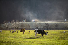 Cows on a field. Color image of some cows on a field royalty free stock photography
