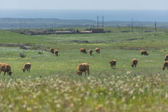 Cows in the field Royalty Free Stock Photo