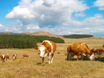 Cows in the field. Mountain Zlatibor, Serbia royalty free stock image