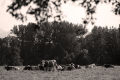 Cows on the field. Cows resting in the middle of the field in Switzerland Stock Image