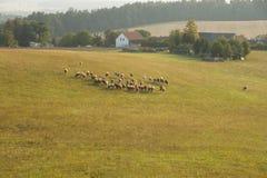 Cows in field, Czech Republic  Stock Photo