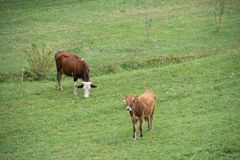 Cows In A Field Royalty Free Stock Photography