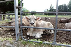Cows in field farm Stock Photos