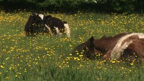 Cows in a field of flowers resting on the ground. Traditional English countryside with cows in a field stock video