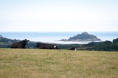 Cows overlooking St. Michael's Mount Stock Photos
