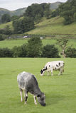 Cows in Field, Grasmere Royalty Free Stock Images