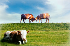 Cows in a field Stock Photos