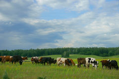 Cows in the field Royalty Free Stock Images