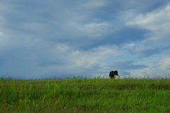 Cows in the field Royalty Free Stock Photography