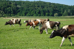 Cows in a field. Royalty Free Stock Images