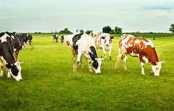 Cows in the field. Cows grazing grass in a calm summer day Stock Photo