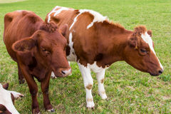 Cows in the field in green meadow farm milk production Stock Photo